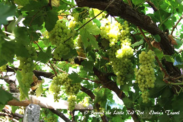 Ripe succulent grapes at our guide's farm.