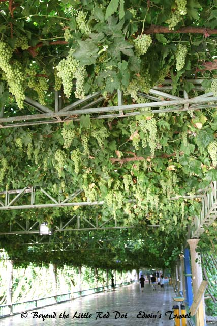 Fascinating walk through a grape vine trellis at the Turpan Water Museum.