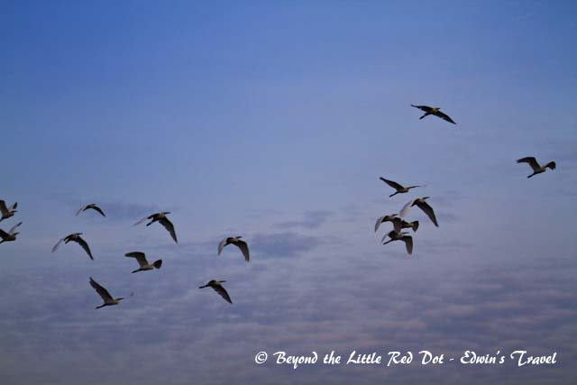 A good place to view migratory birds is Sungei Buloh Wetland Reserve. Here is a flight of egrets at dawn.