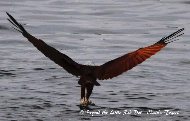 Brahminy kite swooping in for the kill at Changi beach.