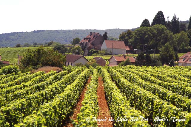 One of many vineyards in the Côte d'Or region.
