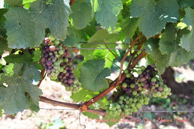 The grapes are not ripe yet, as harvest season is still a couple of months away.