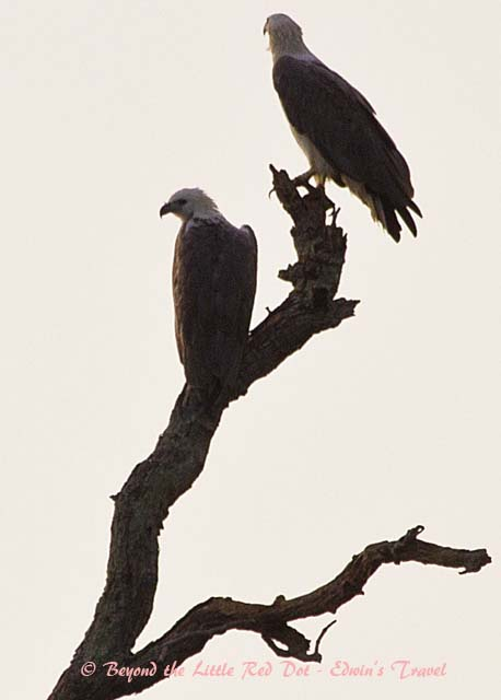 A pair of sea eagles in the morning.