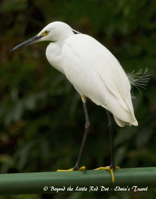 Egret perching on the canal railings. It still has some breeding plumage.