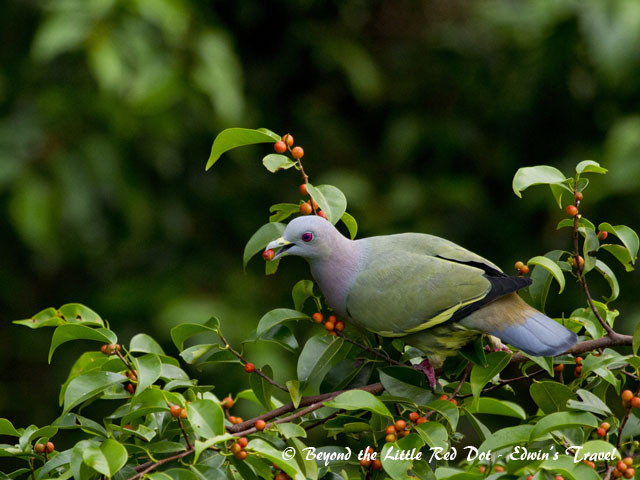 Pink neck green pigeon eating berries from a tree near Hort Park.
