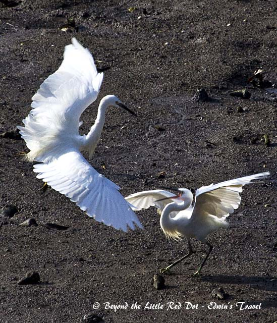 Fight Club for some egrets. They are fighting over food.
