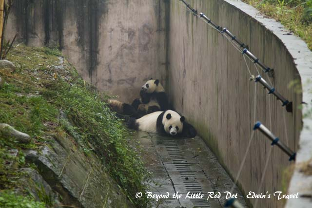 The pandas are usually active in the mornings when it's cooler and they are eating breakfast. In the afternoons they spend their time napping due to the hotter temperature. Although this wet morning was still cold and these few bears were just lazing around.