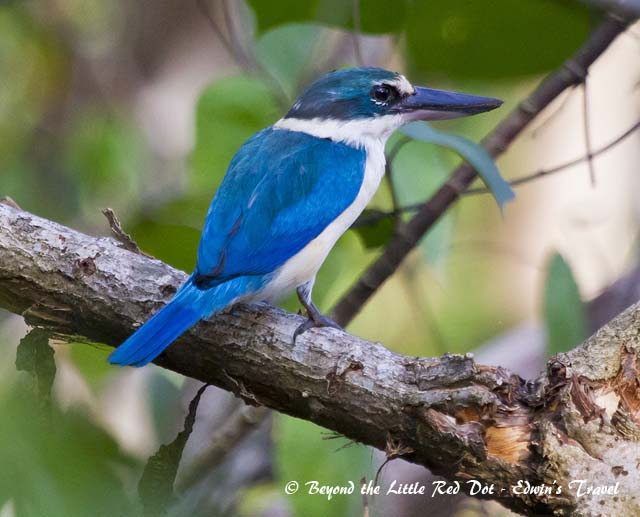 There are many species of kingfishers in Singapore. This is the white collared kingfisher.