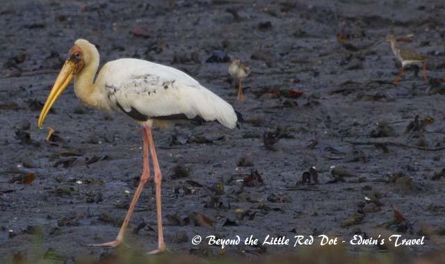 Milky stork at Sungei Buloh Wetland Reserve.