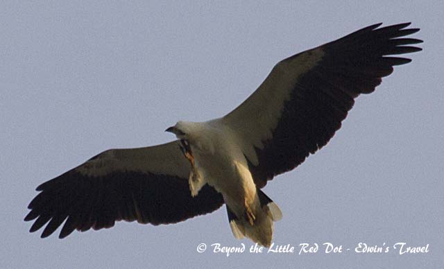 A white bellied sea eagle scratching that itch while flying.