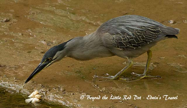 Commonly seen in our canals is the striated heron.
