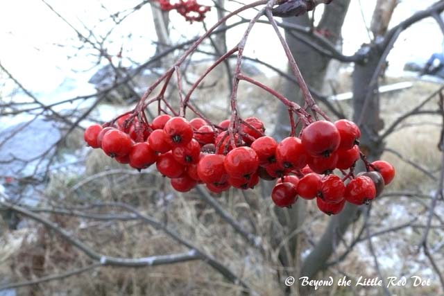 Some local berries on the trees beside the lake.