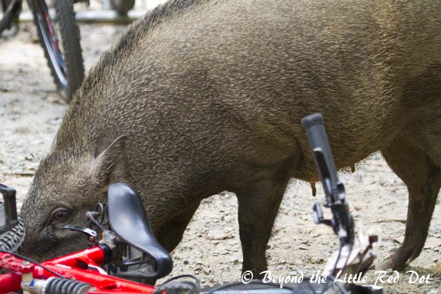 After finding the food, the adult boars knock over the bicycles so that they can grab the food from the baskets. They seem to have a liking for potato chips and can smell them inside their air tight packaging.