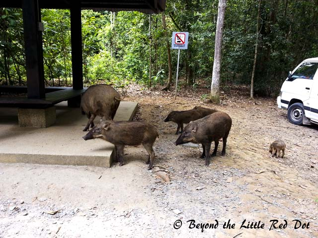 A family of wild boars were at the entrance to Chek Jawa. They weren't aggressive and I think they have probably gotten used to visitors.