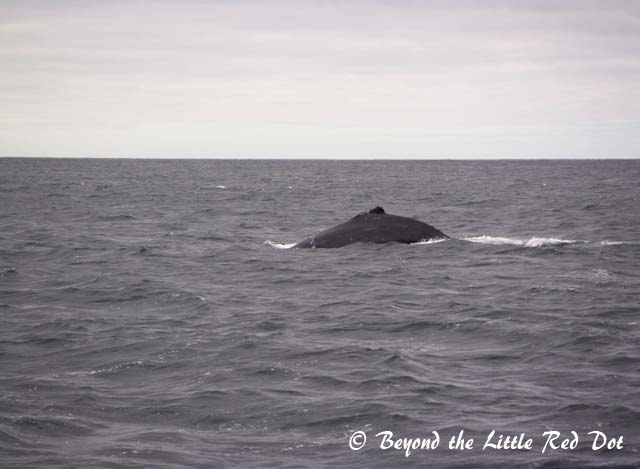 Southern Right whales and humpback whales are usually seen.