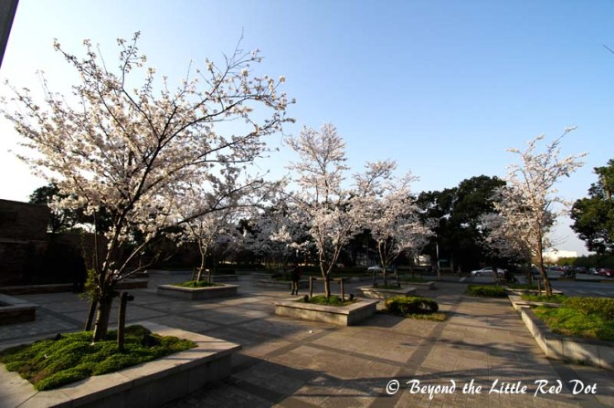 I reached the small park where the cherry trees were. Someone else was already there to admire the flowers.