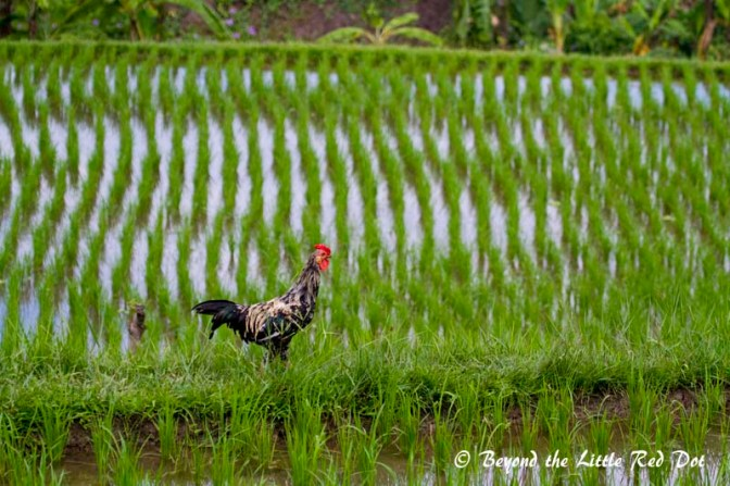 Another cockerel patrolling his owner's padi field.