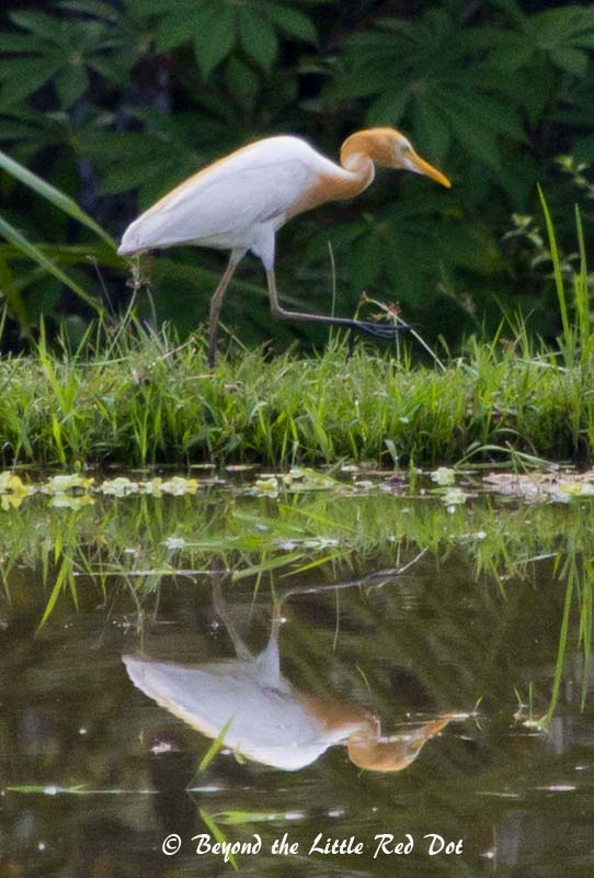 There were a lot of egrets and herons patrolling the padi fields for meals. Here is a cattle egret.