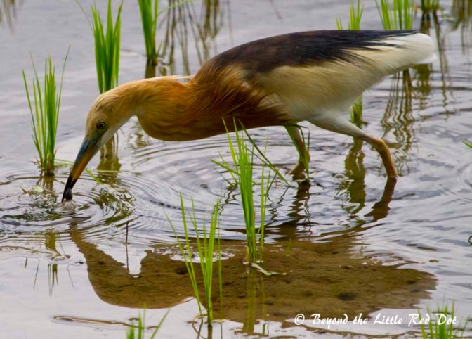 A Javan pond heron catching a frog for lunch.