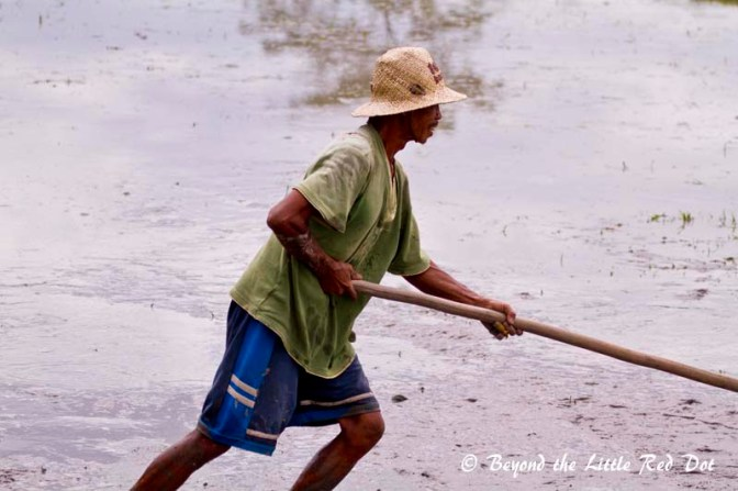 One of the workers leveling the mud before planting the rice seedlings.