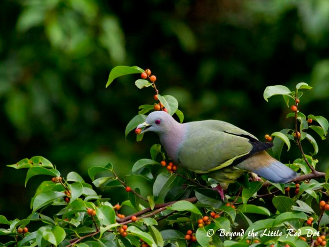 A pink necked green pigeon feasting on berries on the tree tops. I took this photo from the Forest Walk platform.