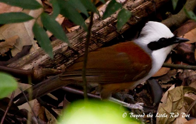 A laughing thrush. You can hear them calling which sounds like laughing.