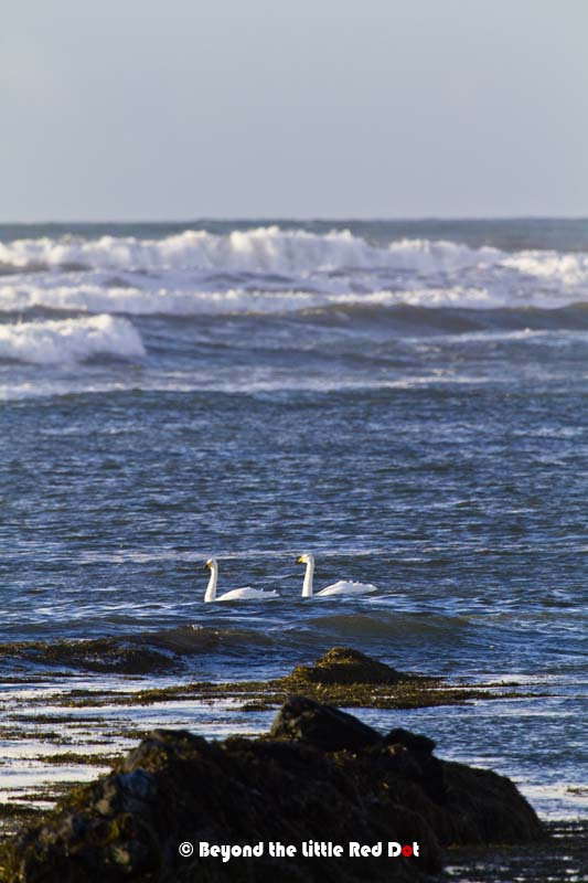There are seal colonies here but being winter they elsewhere. Instead I saw these 2 swans and I wondered how they could withstand the strong waves that were coming in.