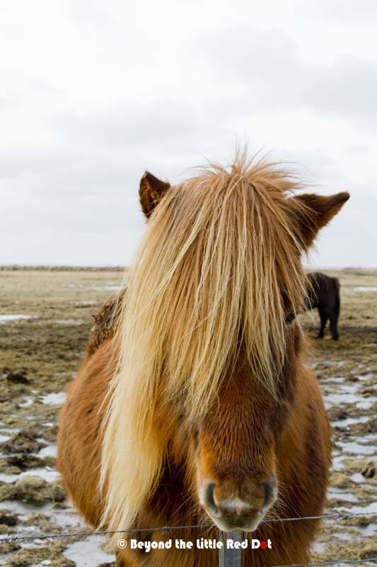 Have you ever seen a horse with blonde hair?