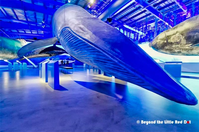 They life size replicas of all the whales in Iceland. They are made from special foam and the texture and feel is exactly like a real whale.