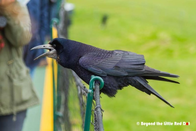 An over friendly rook that was asking the tourists for food.