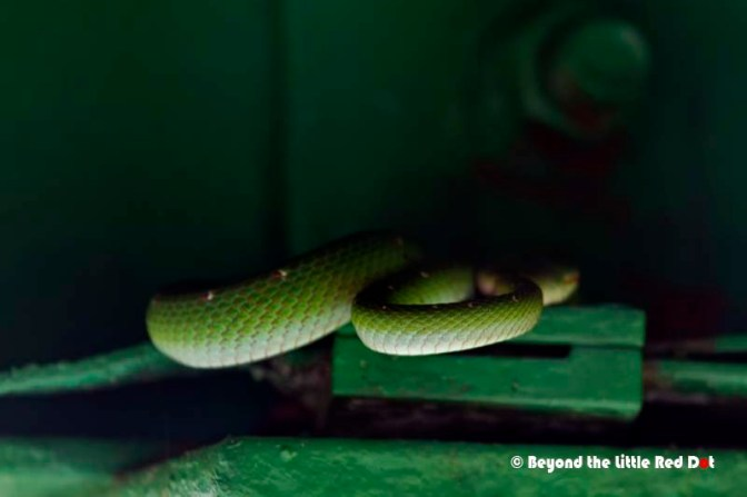 And while I was resting in Jelutong Tower and having an energy bar, I spotted this Green Tree Snake taking his nap in a corner.