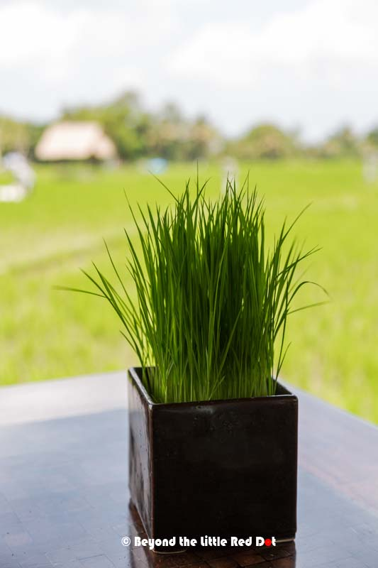 They actually have real rice seedlings on the table.