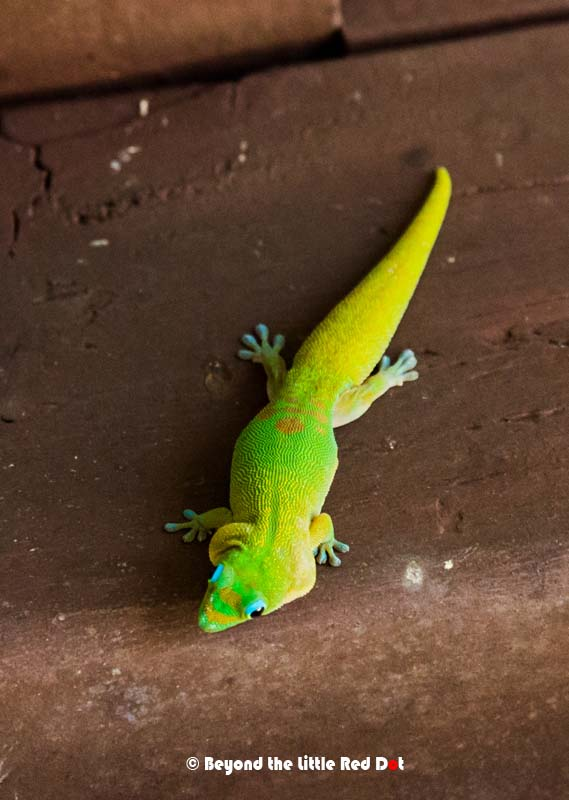 Colorful lizards called Green Anole crawling all over.