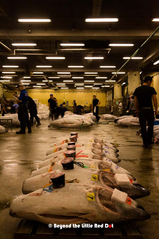 The tuna auction area where frozen tuna are laid out for the buyers to inspect. Frozen tuna come from long range fishing vessels which spend up to a year at sea. These tuna could have been caught 1 year ago and were frozen in the ship's hold until now.