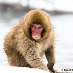 The Valley of the Snow Monkeys