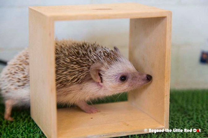 hedgehog3